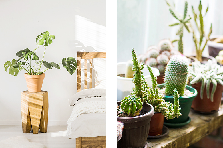 Plantes monstera deliciosa et cactus