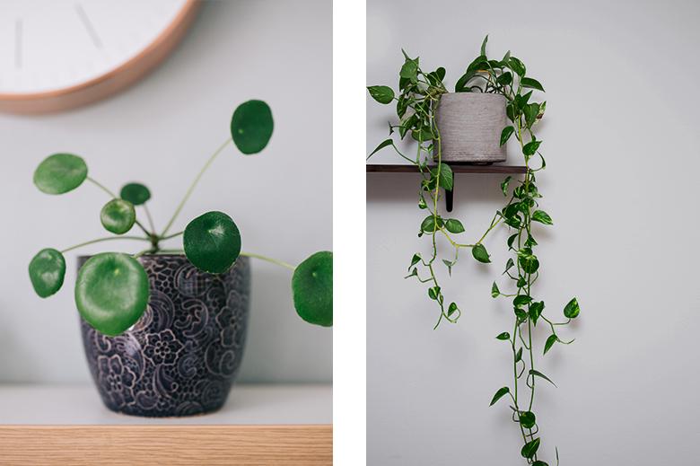 Plantes pilea peperomioides et pothos