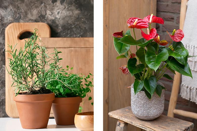 Plantes aromatiques et azalée